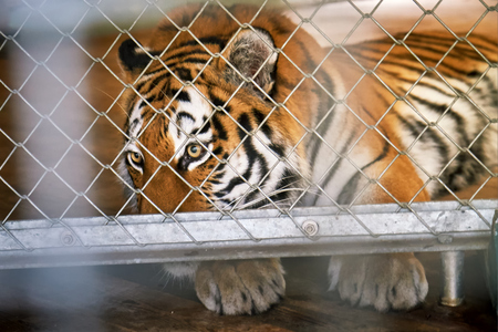 Siberian tiger (Panthera tigris tigris), also called Amur tiger, in a cage looking sad 版權商用圖片