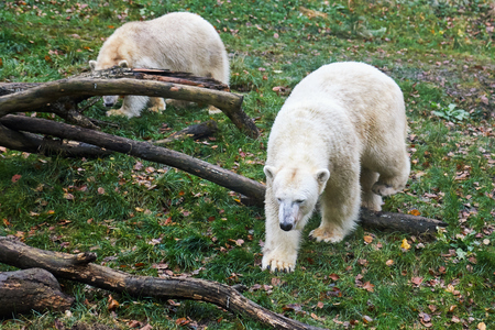 Two polar bears (Ursus maritimus) walking on grass