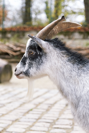 Portrait of a West African Dwarf goat (Capra aegagrus hircus) Stock Photo
