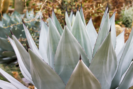Agave sebastiana, also known as Silver Lining and Cedros Island Agave Imagens