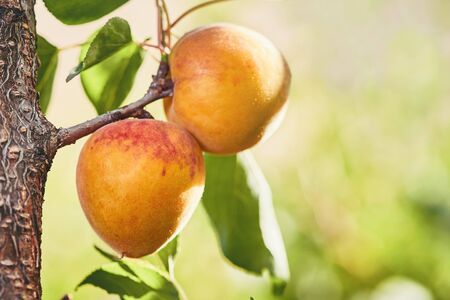 Ripe armenian plums (Prunus armeniaca) growing on a tree