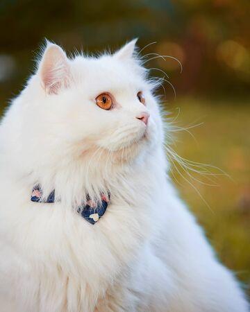 Beautiful Turkish Angora cat with long white hair