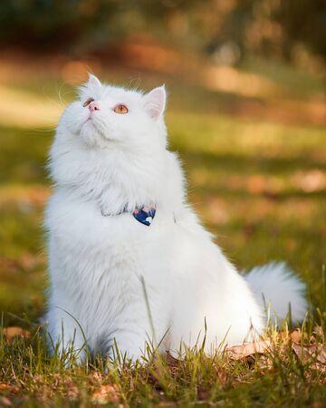 Beautiful Turkish Angora cat with long white hair playing outside