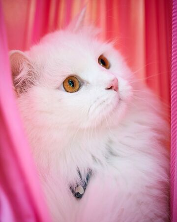 Beautiful Turkish Angora cat with long white hair with pink background 免版税图像