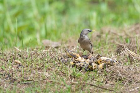 passerine: Starlings are a family of Passerine the birds singing.  Archivio Fotografico