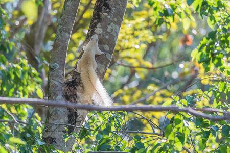 ojos negros: Ardilla blanca es un mam�fero. Un tama�o corporal peque�o Shaggy cubre todo el cuerpo con ojos negros, se hincha cola espesa se clasifican como roedores en la familia Sciuridae.