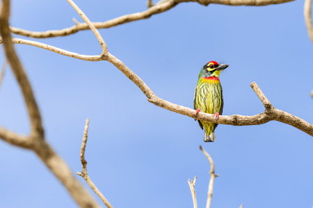 smallest: Birds such as the golden bird Barbet smallest.