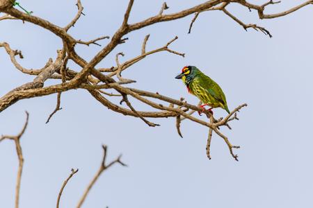 Birds such as the golden bird Barbet smallest. photo