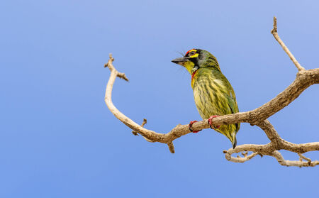 Birds such as the golden bird Barbet smallest. A body is about 16 centimeters of a similar nature. The top coat is green. Chest with red stripe photo
