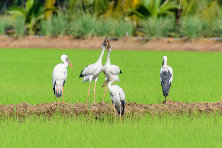 ciconiiformes: Storks are large, long-legged wading birds with long necks and long mouth hard. Ranked Heron Ciconiiformes A family that Ciconiidae found all over the world, 19 species in 6 genera.