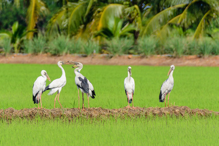 genera: Storks are large, long-legged wading birds with long necks and long mouth hard. Ranked Heron Ciconiiformes A family that Ciconiidae found all over the world, 19 species in 6 genera.