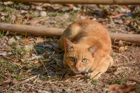 hunter playful: Cat or house cat is a mammal of the family Felidae family tree from the Siberian tiger.
