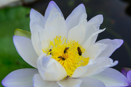 White lotus flower (lotus pointed white) or Punฑrik called lotus flowers large oval tapered like a lotus lily varieties. The flowers are white outer petals are greenish white. photo