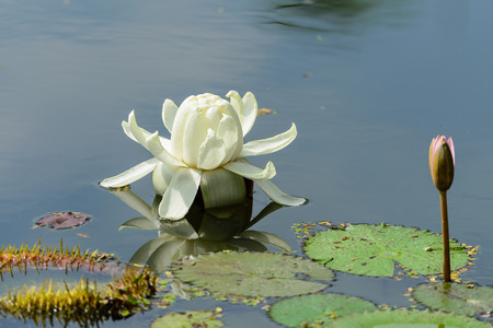 Victoria or a slice of lotus lotus lotus currency Victoria is the largest. A rhizome is a big head The leaves are large, about 6 feet floating on the surface. photo