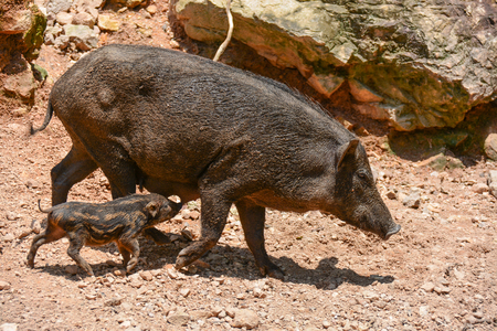 ungulate: Wild pig are animals classified in the phylum Chordate. Floor mammal in Even-toed ungulate. And species of the village today.