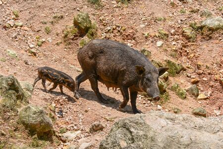 phylum: Wild pig are animals classified in the phylum Chordate. Floor mammal in Even-toed ungulate. And species of the village today.