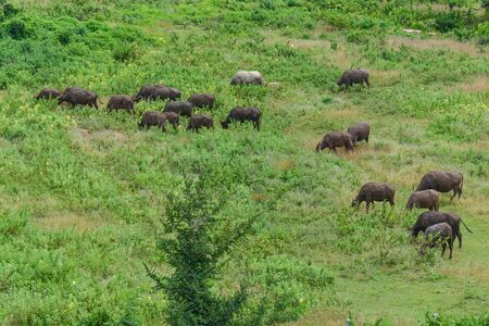 phylum: Buffalo classified in the phylum Chordate. Mammal class Pets are closer to Asian countries, most of Agriculture.