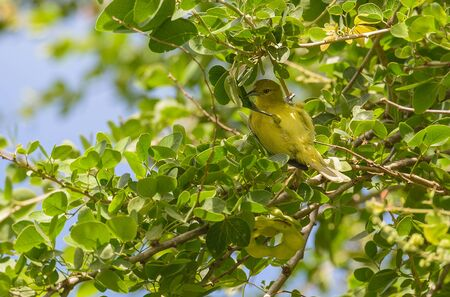yellow tailed: Common Iora manner: In the thick white strip 2 inches. The lower torso bright yellow. Gray-green on the back