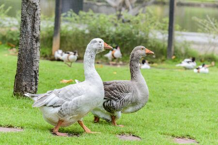 anatidae: Goose is a large bird in the family Anatidae family, as well as ducks, swans, geese and teal species look similar to the swan. But larger and more prominent in males the age is grown, it is the solid or protruding area before the upper beak. Is clearly vi Stock Photo