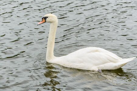 anatidae: Swans are large water birds in the genus Cygnus in the family Anatidae family, as well as ducks and teal. A common feature The fur is white or black, some are white. Beak, yellow, orange and black buttons at the base of the mouth.