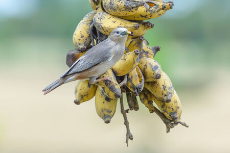 passerine: Starlings are a family of Passerine the birds singing. A family that Sturnidae Stock Photo