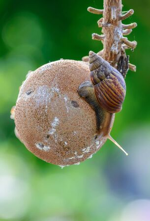 carboniferous: Snails are classified invertebrates. The Dallas Morning phylum. The creatures that are born in approximately the mid Carboniferous ferrous. (Carboniferous Period) Stock Photo