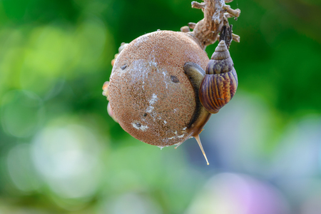 phylum: Snails are classified invertebrates. The Dallas Morning phylum. The creatures that are born in approximately the mid Carboniferous ferrous. (Carboniferous Period) Stock Photo