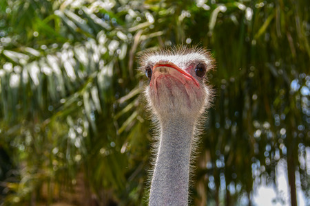 weighs: Ostrich is classified as vertebrates. The birds are the largest in the world. Originated in Africa A mature height of about 2 - 2.5 m Weight weighs about 160 pounds when fully grown.