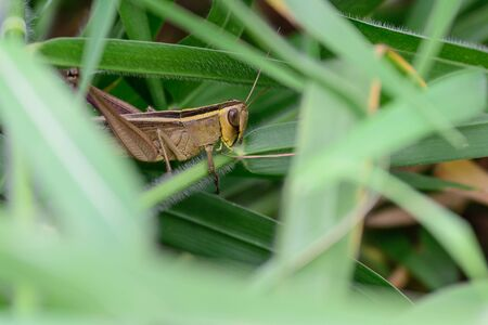 leathery: Grasshopper is essentially I have a bite to eat The large-eyed Yarn is a mustache Front wings are leathery Clear rear wings Which folded under the front wing.