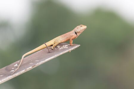 reptiles: Lizards are reptiles of the clade Suborder Lacertilia or Sauria Squamata or Squamata.