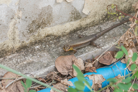 Skink  is rated Squamata, as well as snakes and lizards. , Family Scincidae photo