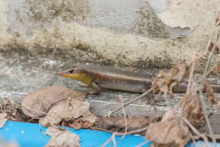 squamata: Skink  is rated Squamata, as well as snakes and lizards. , Family Scincidae