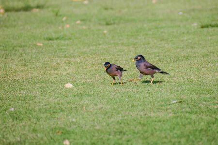 common myna bird: Common myna A bird in the Starling. Easily seen in the city or the human community. There are approximately 25-26 cm, strong claws slender legs, head and neck, black leather around the mouth and eyes yellow. Brown body Stock Photo