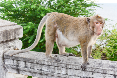 about age: Crab-eating macaque monkey medium Brown hairs on the body. Tail than the length of the fuselage. Under the white feathers The fur color varies according to the season, age and place of residence. Length of the torso and head, about 48.5 to 55 cm long tail Stock Photo