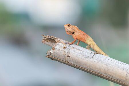 squamata: Lizards are reptiles of the clade Suborder Lacertilia or Sauria Squamata or Squamata.
