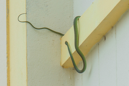 Golden tree snake is a snake Body style slender, yellowish green stripes, black-active crystals. You can go climbing on the branches fluently. Poisonous soft but not very serious. photo