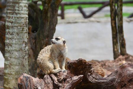 alumnos en clase: Meerkat clasificado en el Chordate phylum. Clase Mammal Un tamaño corporal pequeño peso de aproximadamente 1 kg y una altura de unos 50 cm. Foto de archivo
