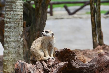 phylum: Meerkat classified in the phylum Chordate. Mammal class A small body size Weighing about 1 kg and a height of about 50 cm.
