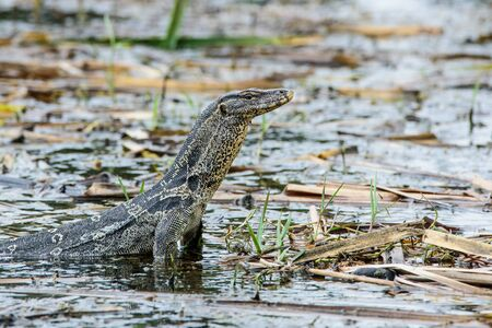 forked tail: Damn a large reptile species. A big fat black Monitor lizard with yellow flowers draped across long live near the water. Stock Photo
