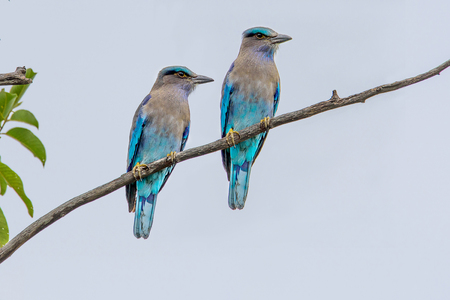 medium length: Indian roller medium to large birds. A body is about 33 centimeters are the same. Build a streamlined body erect head, mouth, neck, black, medium length on his mouth curved beak is hooked hooked. The length and width of the wing sources.
