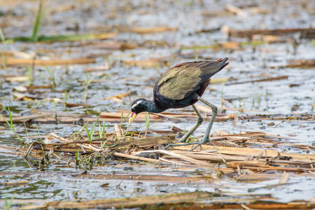 trotter: Jacana yellow beak mouth, a red bar. The frontal gray leather head, neck and torso black bottom. A white stripe above the eye Long haul up to the neck The legs and wings are golden yellow to green. Stock Photo