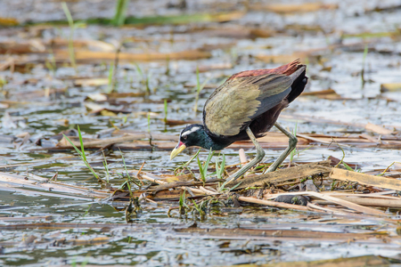 jacana: Jacana yellow beak mouth, a red bar. The frontal gray leather head, neck and torso black bottom. A white stripe above the eye Long haul up to the neck The legs and wings are golden yellow to green. Stock Photo
