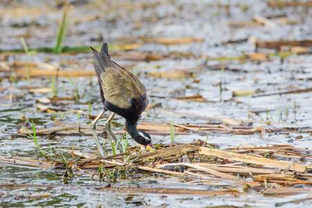 black beak: Jacana yellow beak mouth, a red bar. The frontal gray leather head, neck and torso black bottom. A white stripe above the eye Long haul up to the neck The legs and wings are golden yellow to green. Stock Photo