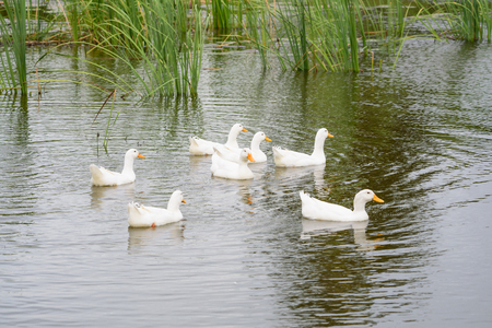 flat foot: Duck family Anatidae poultry in the mouth between your fingers flat foot flat membrane adhesion so easy to swim in a variety of colors such as brown, white, green, pink, purple, smaller than the goose ... Stock Photo