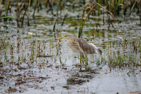 wading: The overall look is a large water bird with a long neck and legs. Often seen walking or standing water feed on grasses or plants. I have long pointed to a small fishing or insects.