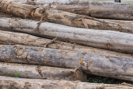 large trees: Large trees are cut into pieces before processing.
