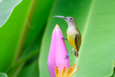 sexes: Sunbird Bird upper body green. The lower torso bright yellow similar in both sexes. Long mouth sharp curves The twin tail off and tail are white. The female has a yellow neck to the chest. But males at the neck to the chest with a blue and black flies. Stock Photo