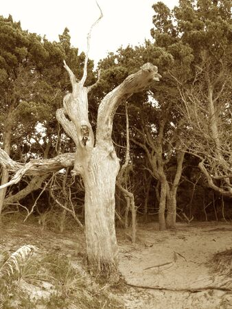 rising dead: Lone tree at Springers point Stock Photo