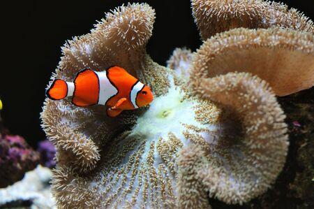 aquarium hobby: attractive clown fish over coral reef