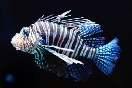 aquarium hobby: Attractive Lionfish over dark background Stock Photo